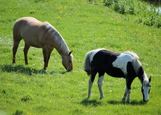Horses grazing in field (photo)
